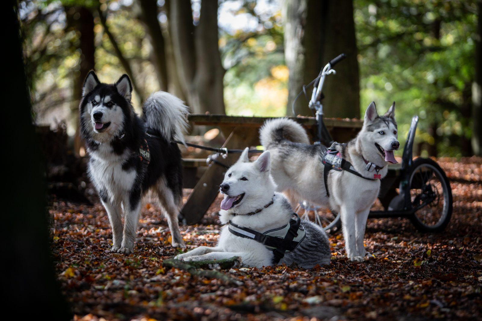 husky dog pack